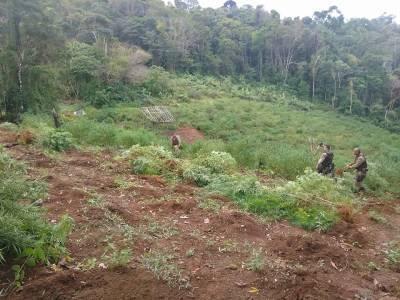 Rondesp Sul e 33° CIPM localiza grande plantação de maconha em Camamu, na Bahia